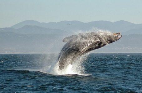 Kotoran Ikan Paus Sanggup Suburkan Lingkungan Laut