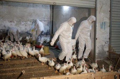 Virus Influenza Itik Liar (pandemi) Spanyol Membayangi