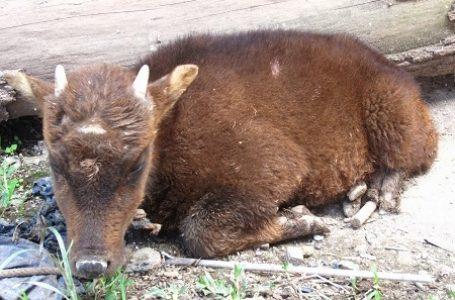 BKSDA Akui, Fauna Maskot Sulawesi Ini Kian Menurun