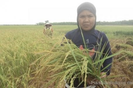 Kekeringan Menyebabkan Sejumlah Petani di Majalengka Panen Dini