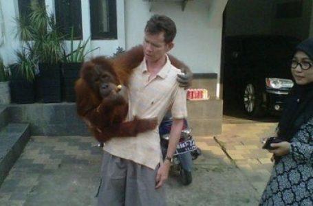 BKSDA Sita Orangutan Sumatera di Rumah Pengasuhnya