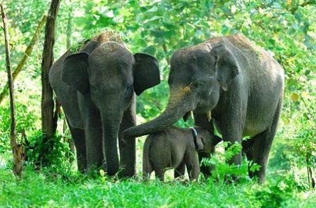 Dipastikan, Populasi Gajah Sumatera Akan Punah