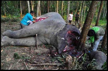 Anggota Perbakin Riau Diringkus Polisi Karena Perburuan Gajah