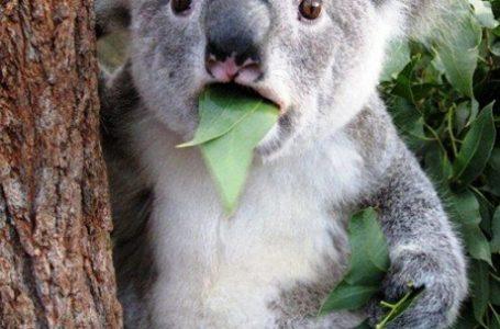 Ilmuan Kontrol Populasi Koala Dengan Pesawat Tanpa Awak