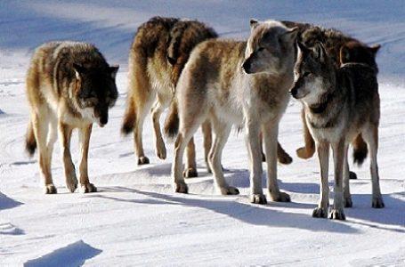 Serigala Abu-abu di Isle Royale, Michigan, Amerika Serikat Terancam Punah