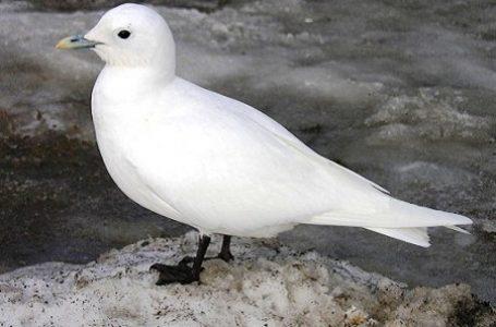 Polutan Beracun, Ancam Keberadaan Burung Arktik