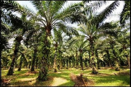 47 Ribu Hektar Lahan Sawit Milik PT Torganda Digusur Tanpa Perlawanan