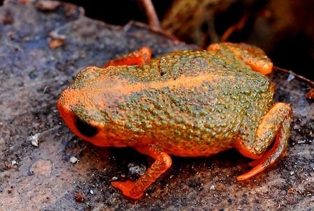 Spesies Katak Baru Ditemukan Di Pegunungan Brasil Selatan