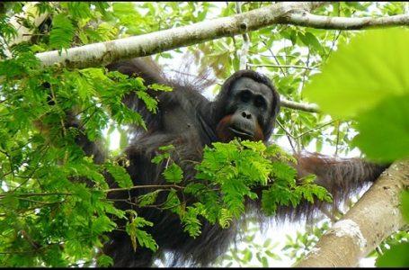 COP Membuka Beasiswa Sekolah Konservasi Orangutan