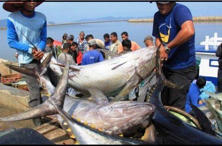 Eksploitasi Besar-besaran, Ikan Tuna Terancam Kolaps
