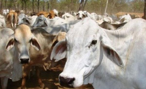 Tercemar Limbah Tambang, 400 Ekor Sapi di NT Dimusnahkan