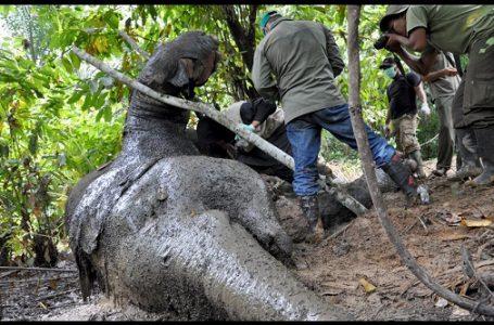 Dua Gajah Sumatera Ditemukan Mati di Perkebunan Sawit Aceh