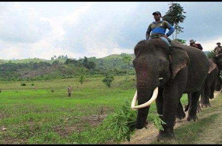 BKSDA Sumsel Kerahkan Lima Gajah Untuk Bantu Pemadaman Api