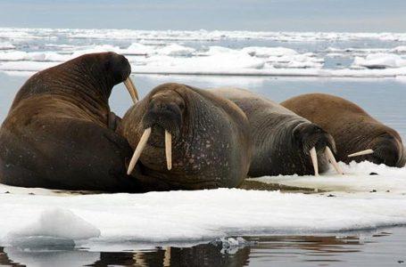 Daratan Arktik Capai Suhu Terpanasnya
