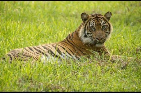 Harimau Sumatera Hampir Mencapai Kepunahan