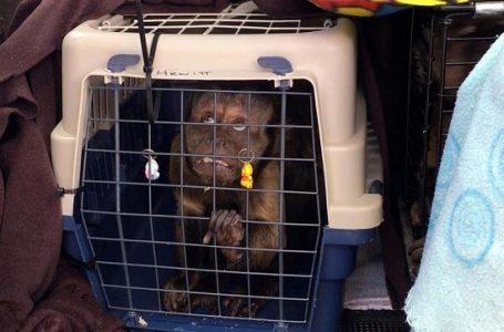 50 Monyet Kelaparan Diselamatkan dari Pusat Taman Afrika Selatan