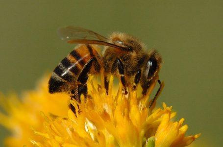 Bahan Kimia Bahaya bagi Lebah, Produsen Pestisida AS Berhenti