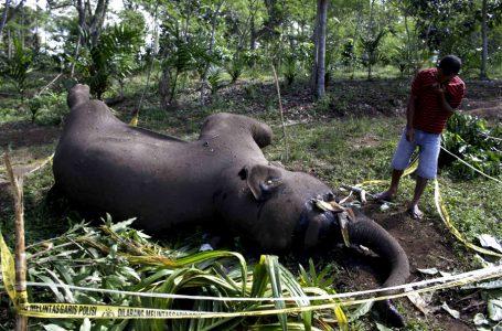 """""""Lagi"""", Gajah Sumatera Ditemukan Mati di Lahan Sawit"""