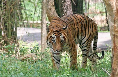 Harimau Dunia Meningkat Untuk Pertama Kalinya di Abad Ini