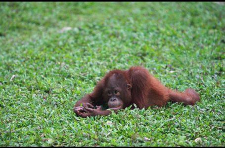 Dijadikan Satwa Peliharaan, Populasi Orangutan Terancam