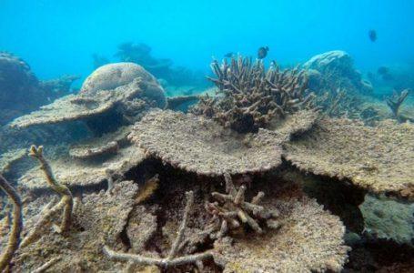 Terumbu karang seperti meja yang mati akibat pemutihan di Zenith Reef, di utara Great Barrier Reef, Australia (Gambar: Reuters)
