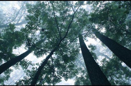 Pemkot Pontianak Akan Tindak Tegas Perusak Pohon