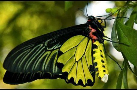 Kupu-kupu langka berjenis sayap burung goliath, Ornithoptera goliath {Gambar: Google.com}