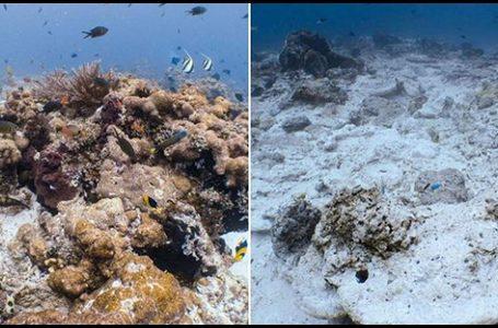 Perbandingan terumbu karang setelah rusak diakibatkan Kapal asal Inggris Caledonian Sky. {Foto: Mongabay}