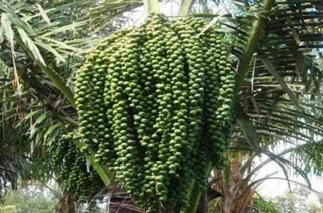 Pohon Aren (Arenga pinnata) (Gambar: Pertanianku.com)