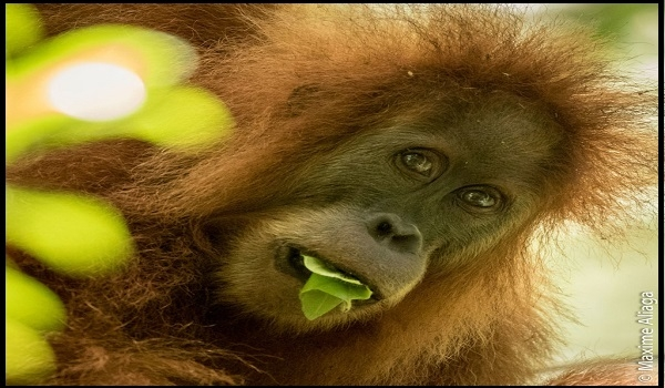Orangutan Tapanuli, Spesies Baru yang Langka