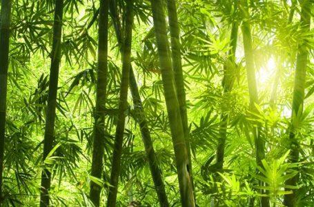 COP23: Bambu Dapat Tekan Laju Perubahan Iklim