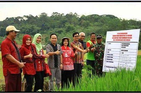 Padi 'Nuklir' Sidenuk Mulai Dikembangkan Di Semarang