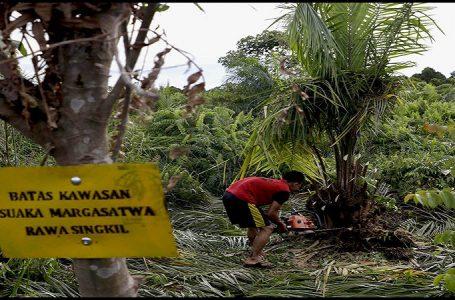 Keadaan Pemusnahan Kebun Sawit Milik PT. Agro Sinergi Nusantara (ASN) di Suaka Margasatwa (SM) Rawa Singkil, Aceh. (Gambar: Mongabay)